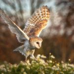 barn owl landing, Czech Republic photography workshop
