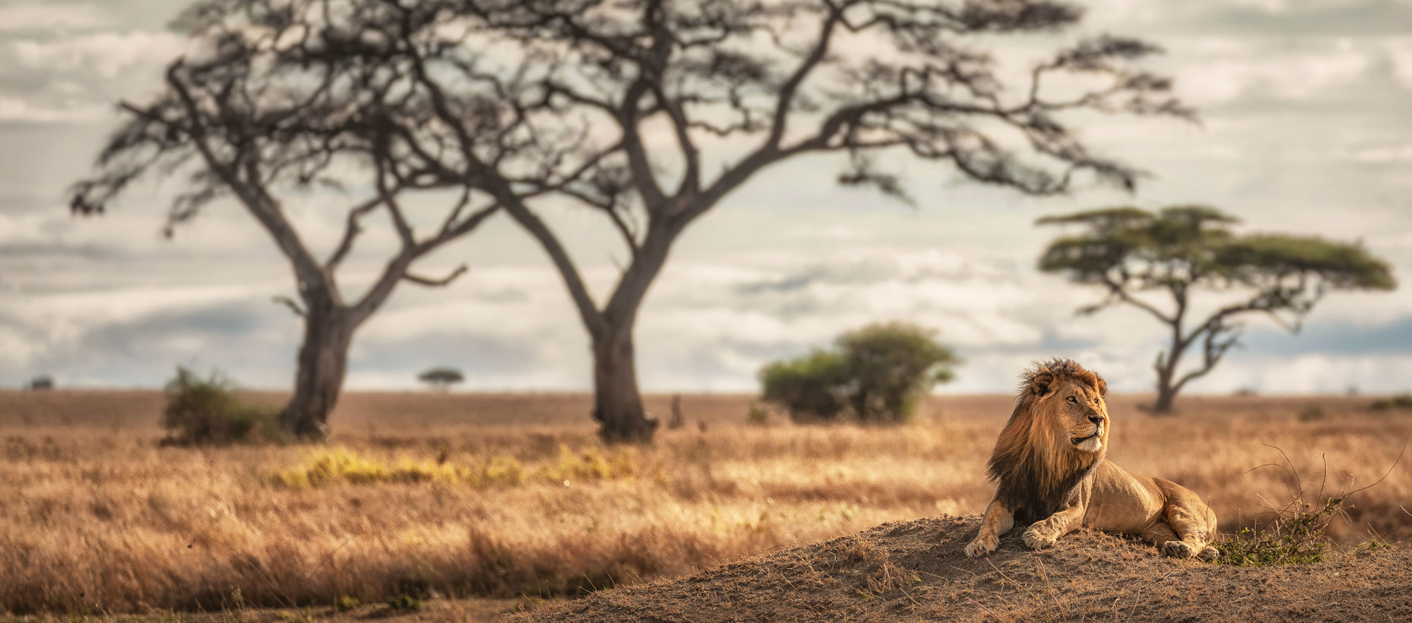 lion at serengeti - tanzania photo tour. all inclusive photography workshop