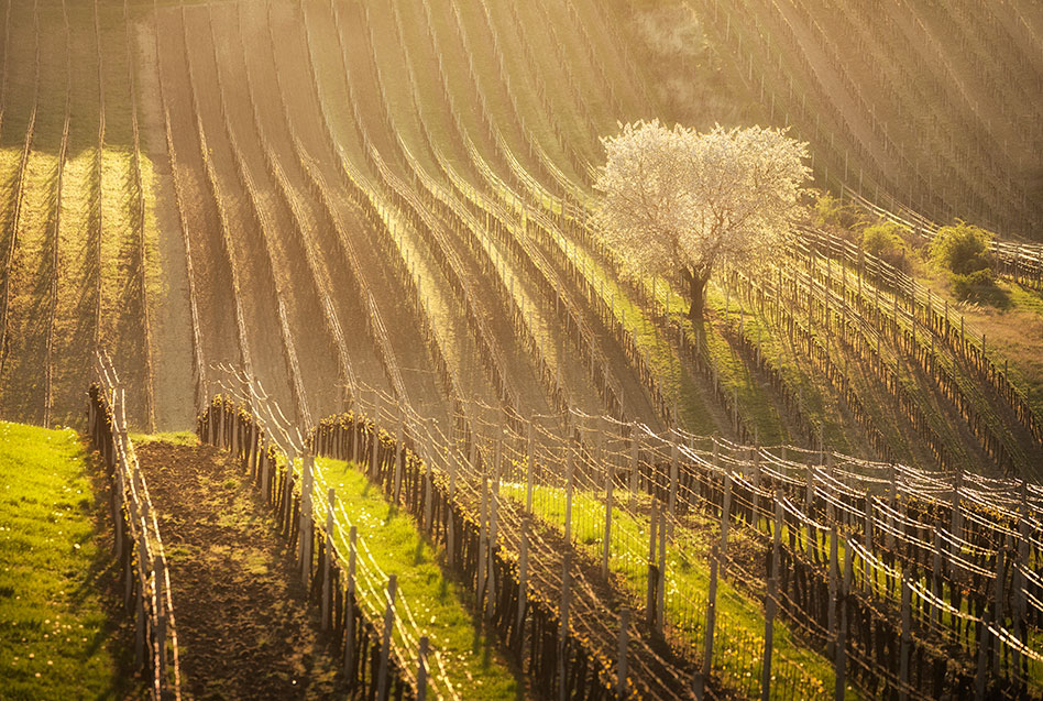 cherry blossom tree at the vineyards at South Moravia, Czech Republic